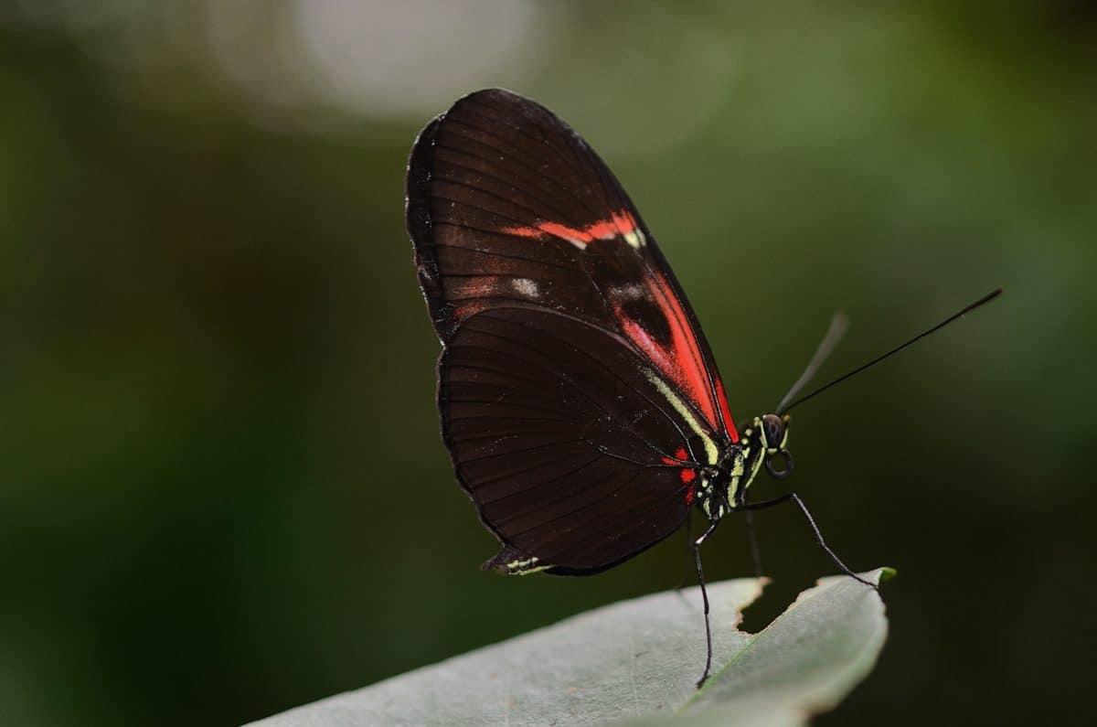 дивата природа, природа, черен, крило, насекоми, безгръбначни, пеперуда, Градина