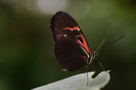 fauna, naturaleza, negro, ala, insectos, invertebrados, mariposas, jardín