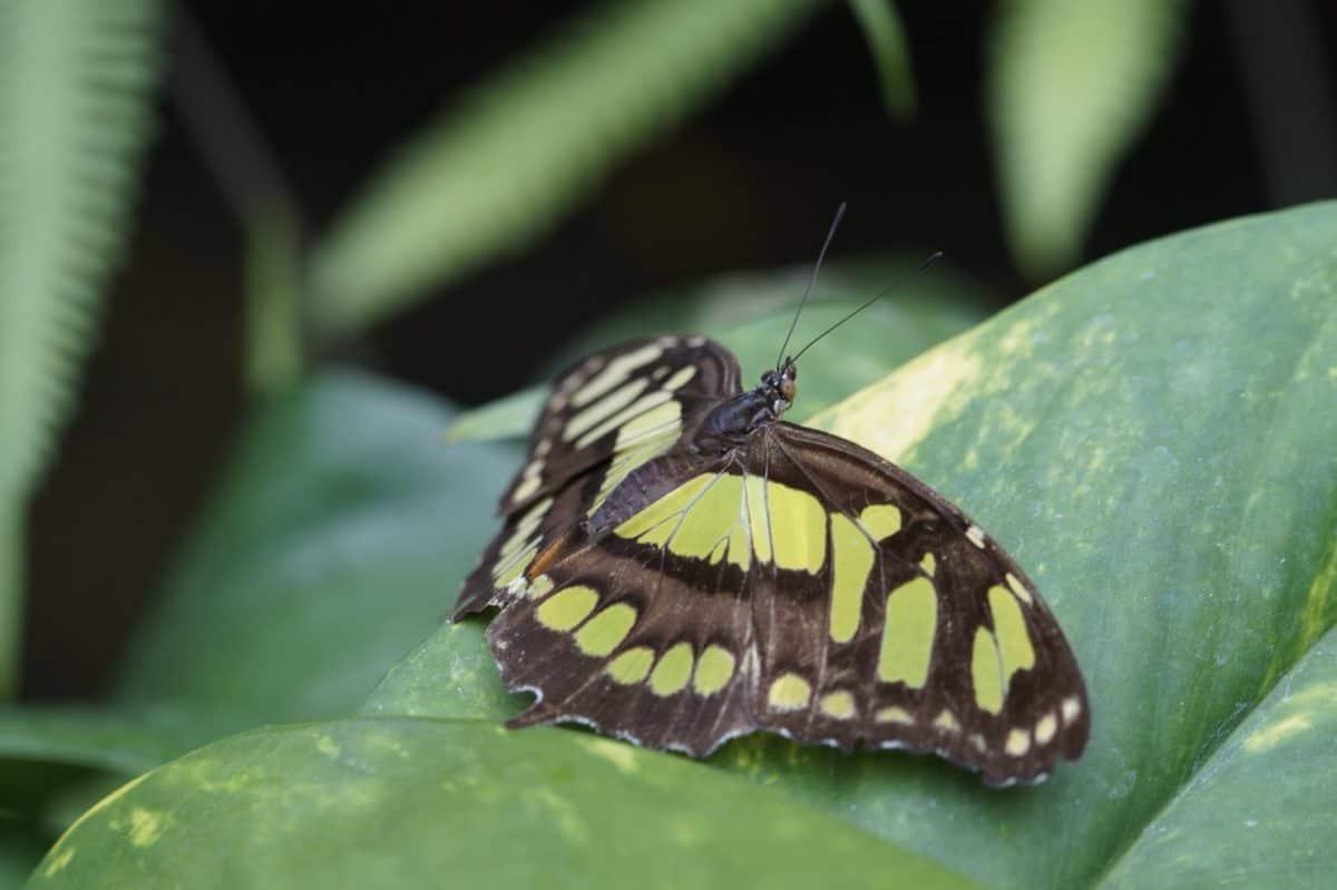 insecto, invertebrado, naturaleza, hoja verde, mariposa, camuflaje, artrópodos