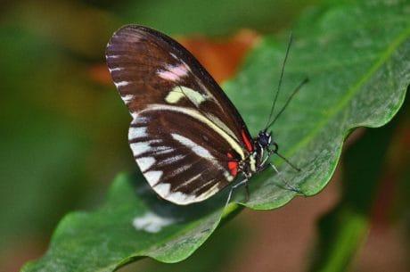 nature, faune, papillon, ailes, macro, insectes, feuilles, invertébré, jardin