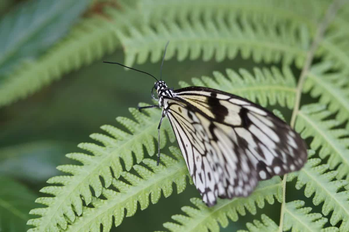 fern, leaf, wildlife, butterfly, green leaf, green leaves, nature, insect, herb, plant