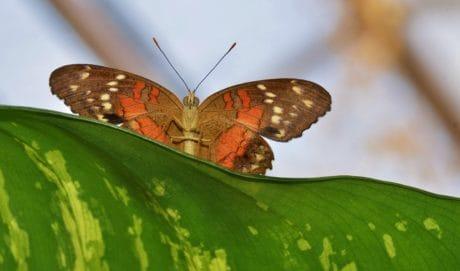 πεταλούδα, φύση, έντομο, καλοκαίρι, σκώρο, ασπόνδυλα, άγρια ζωή