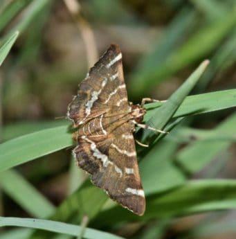 насекоми, природа, дива природа, кафява, зелена трева, лято, животински, пеперуда