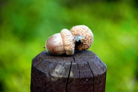 wood, acorn, brown, nature, pillar