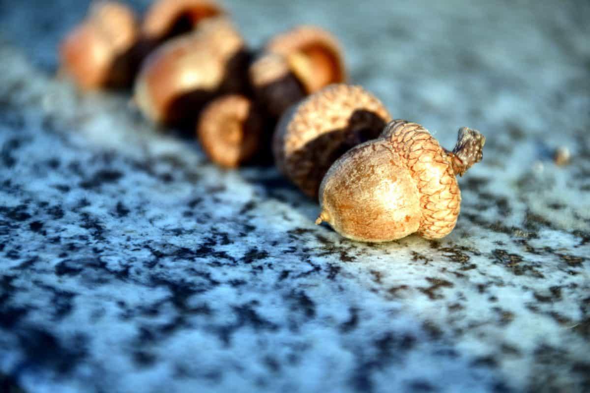nature, acorn, brown, plant, texture