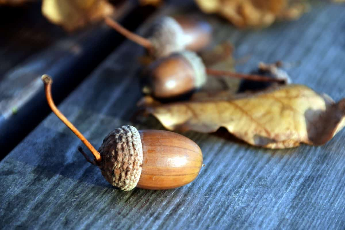 nature, acorn, brown, plant, texture, tree, table, leaf