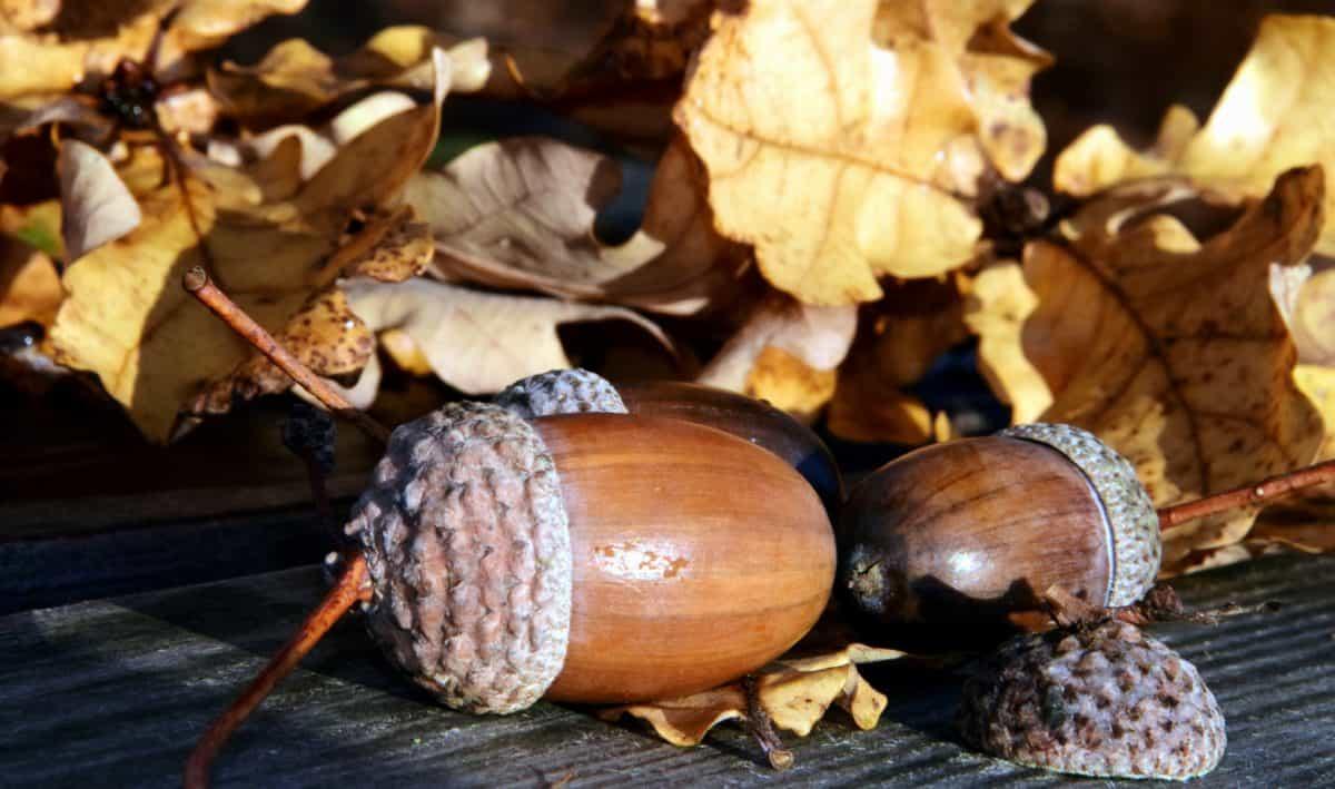 leaf, acorn, wood, table, nature