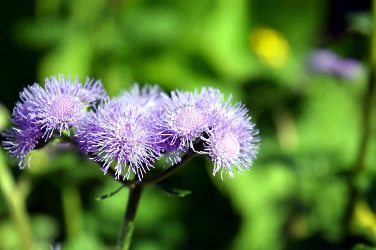 thistle, flora, leaf, flower, nature, summer, garden, herb, plant