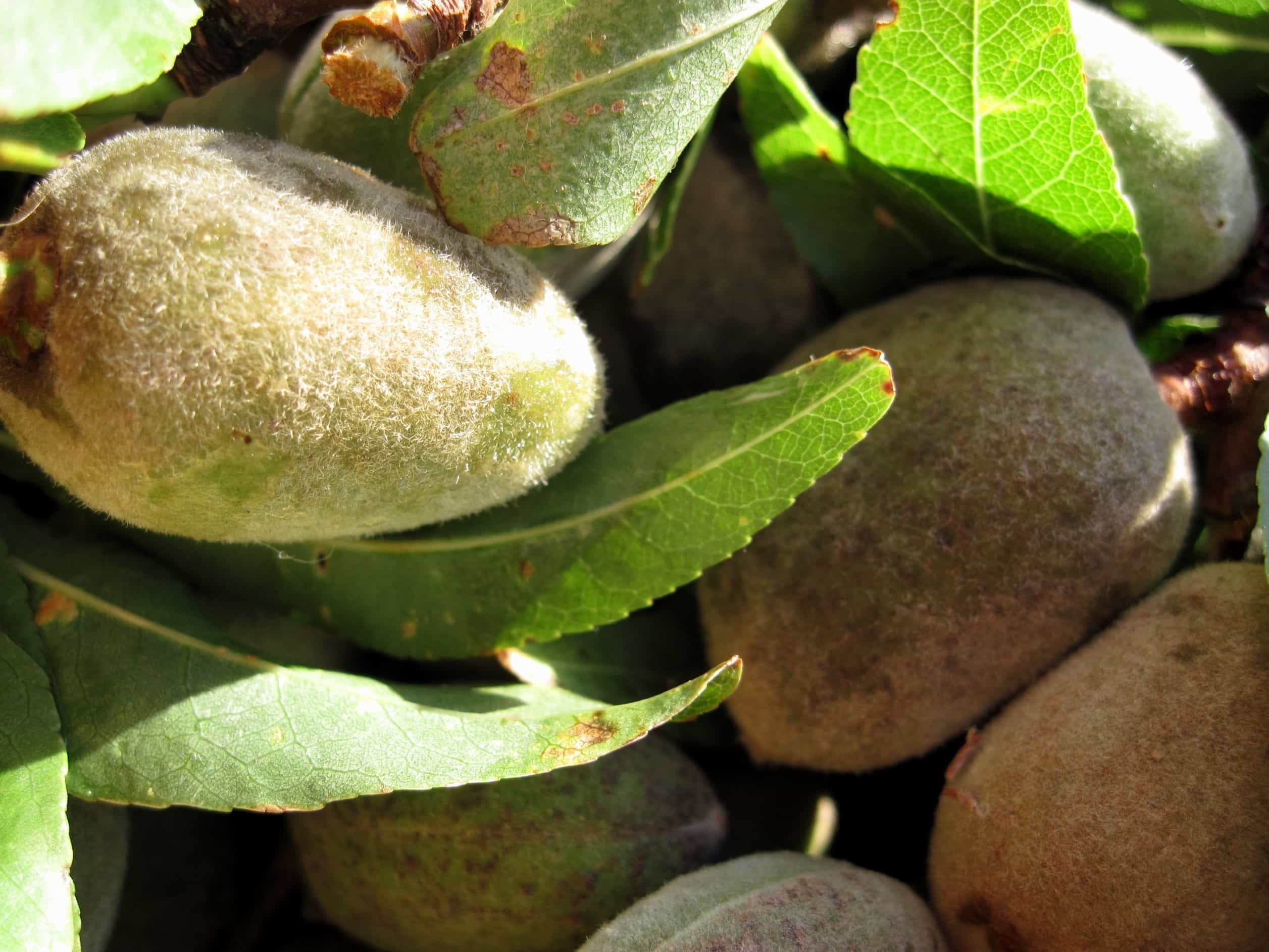 kostenlose bild blatt essen flora natur obst kiwi baum. Black Bedroom Furniture Sets. Home Design Ideas