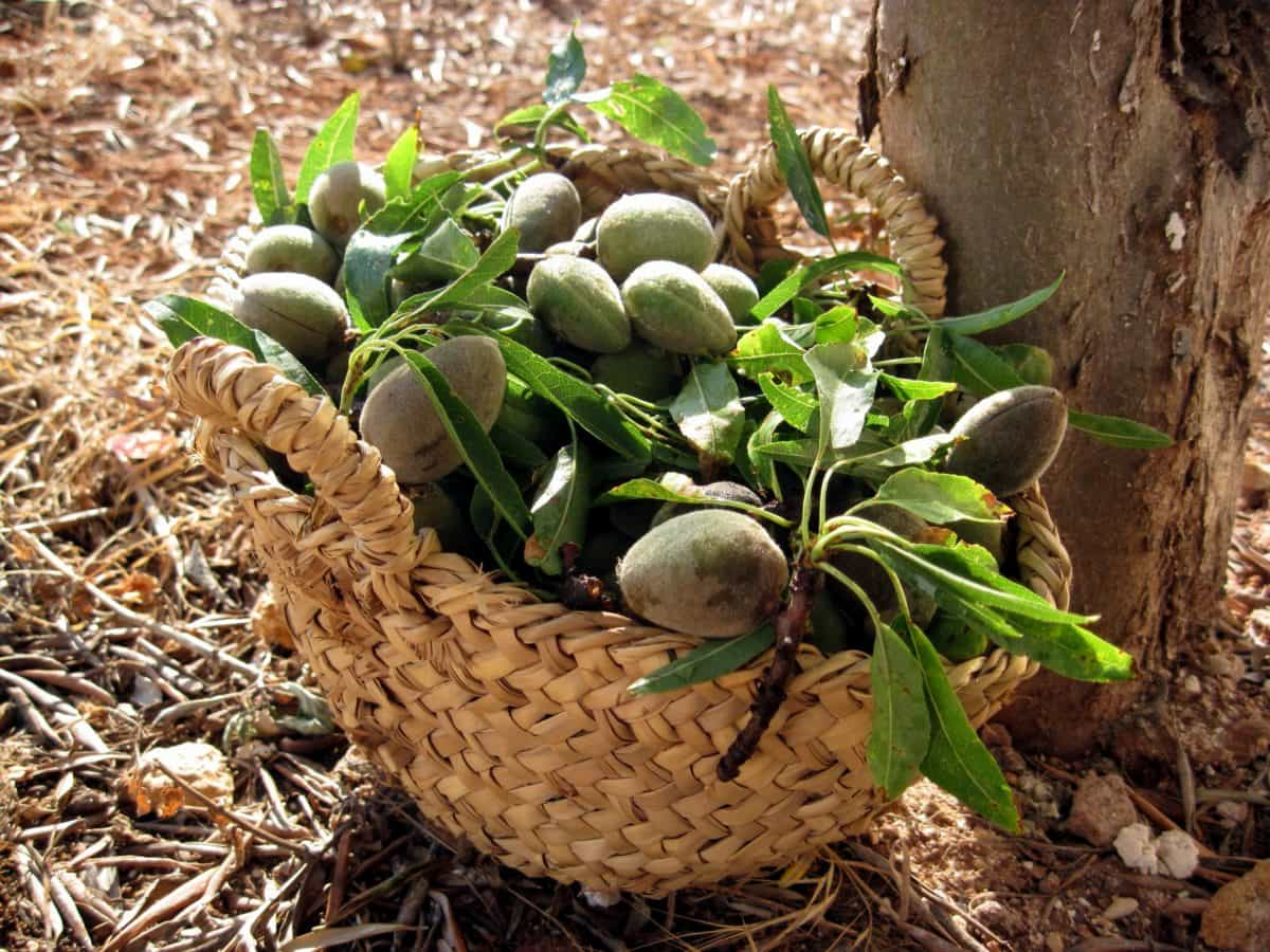food, nature, peach, orchard, wicker basket, leaf, fruit, grass, outdoor