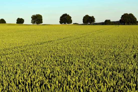 landscape, green, field, agriculture, rapeseed, oilseed, outdoor