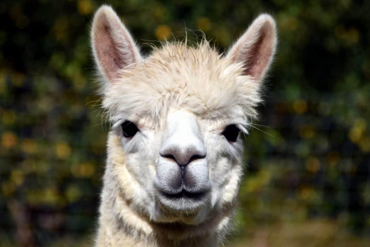 head, fur, lama, animal, daylight, outdoor, dayllight, cute, outdoor