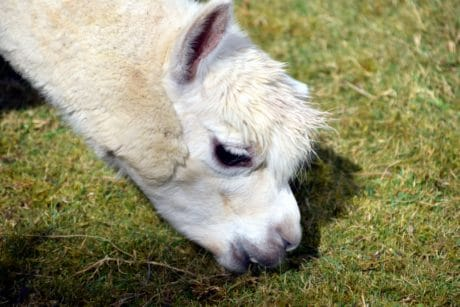 head, fur, lama, animal, daylight, grass, food