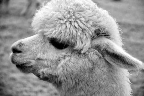 head, fur, monochrome, ear, lama, animal, daylight, portrait