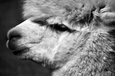 cute, portrait, macro, animal, nature, outdoor, monochrome, fur, alpaca