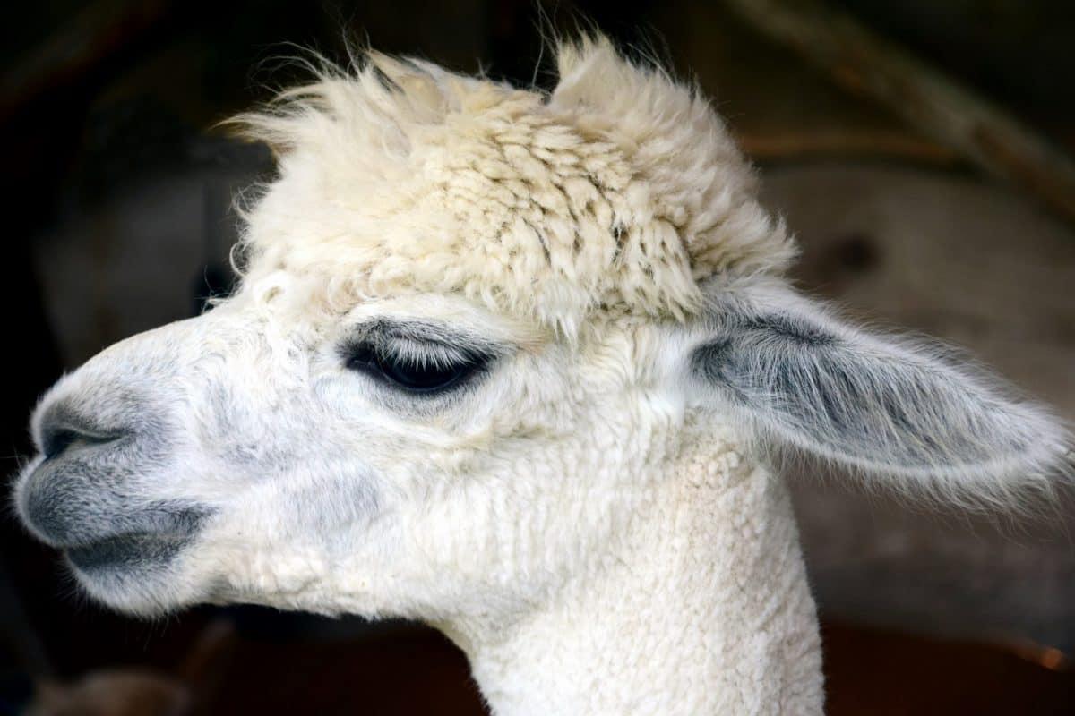 head, eye, portrait, ear, head, alpaca, animal