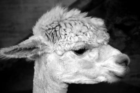 head, eye, lama, monochrome, fur, portrait, animal