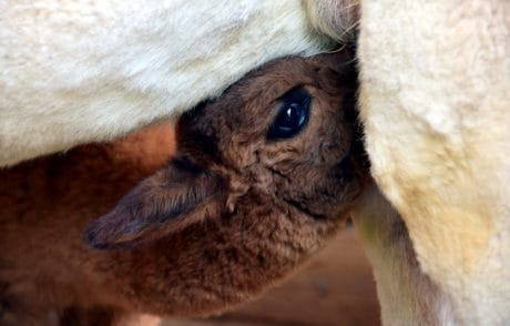 ojo, jefe, joven, alpaca, comer, piel, animal
