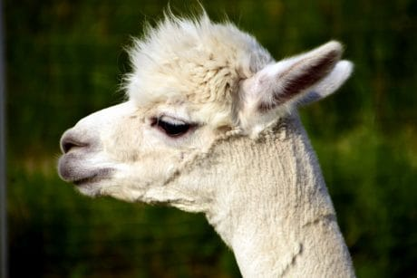 animal, alpaca, head, portrait, cute, llama