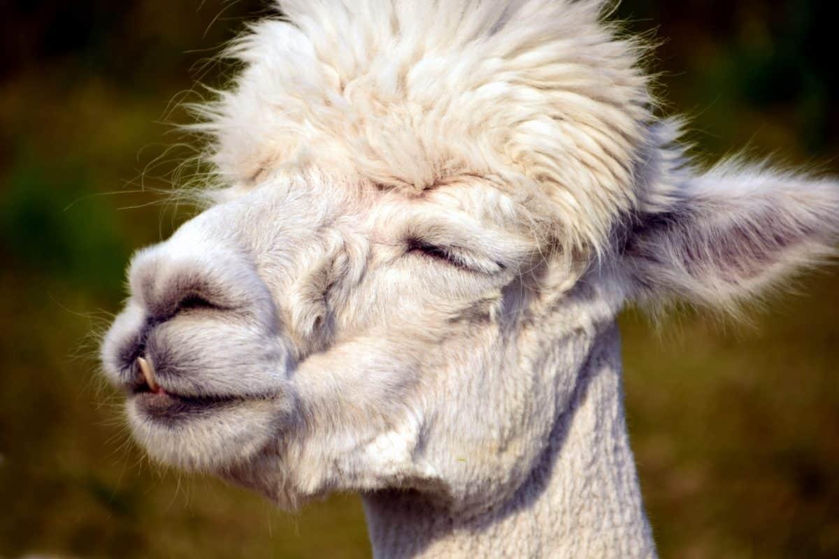 fur, animal, portrait, llama, wildlife, mouth, head