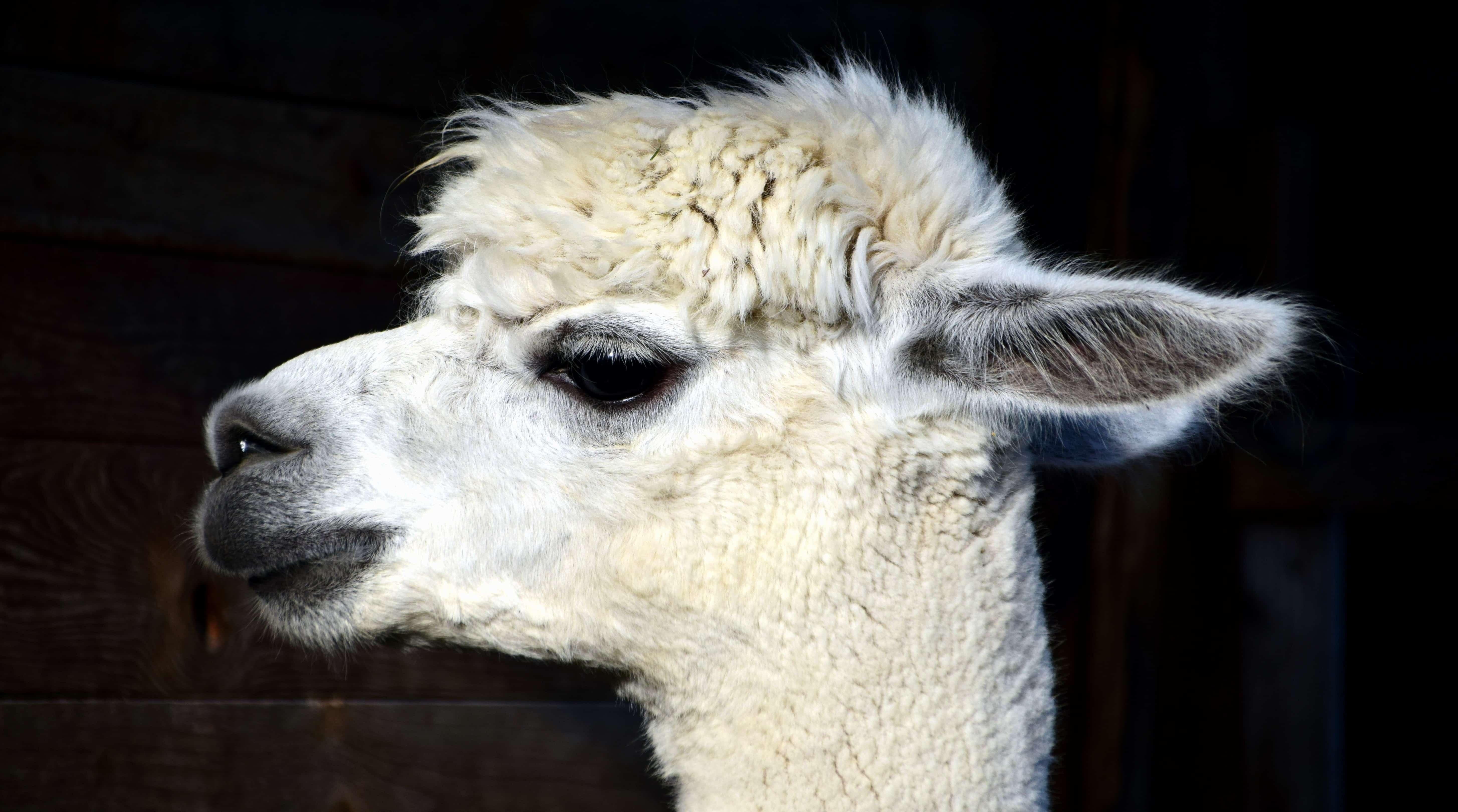 free picture  llama  white  wildlife  head  fur  animal