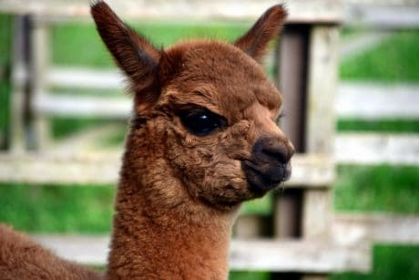 animal, cute, portrait, brown, nature, llama, wildlife, wild