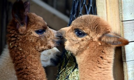 mignon, animal, fourrure, portrait, lamas