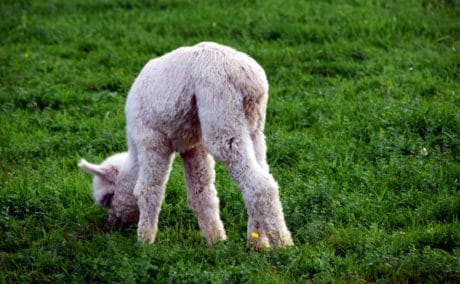 erba, alpaca, natura, verde erba, animali, fattoria, campo, carina