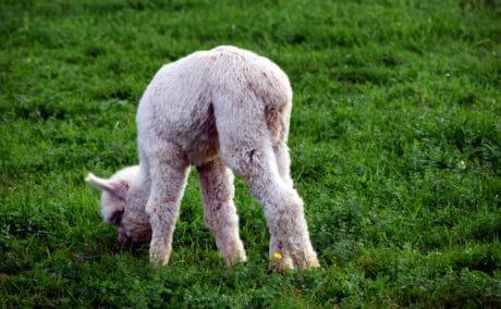 hierba, alpaca, naturaleza, pasto verde, animal, granja, campo, lindo