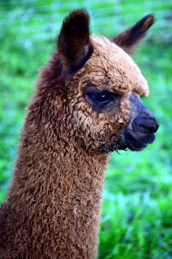 cute, portrait, llama, animal, head, fur