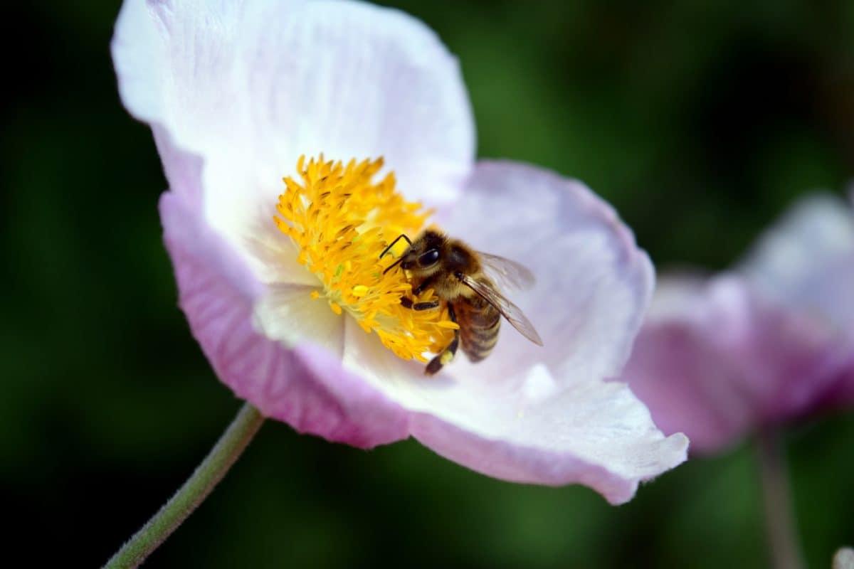 pollen, flora, insect, summer, flower, nature, bee