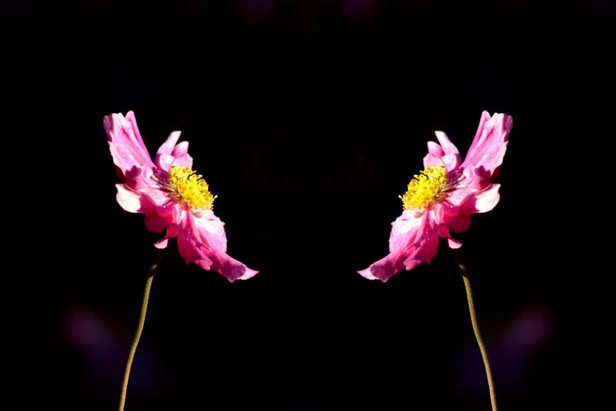 Płatek, flora, natura, kwiat, ciemność, lato, różowy, roślin, kwiat