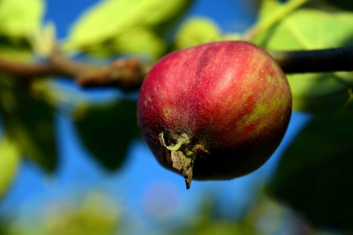 apple, nature, leaf, food, fruit, tree, sweet