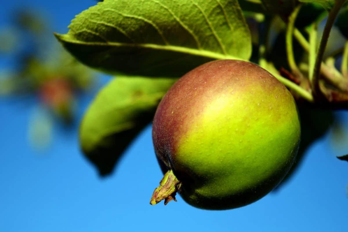 πράσινο μήλο, τροφίμων, φύλλο, φύση, δέντρο, φρούτα, διατροφή