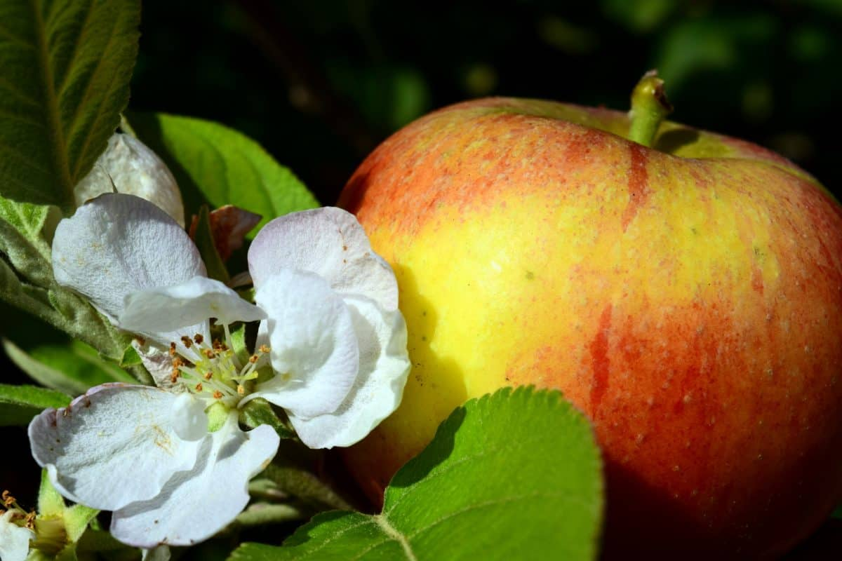 nature, leaf, apple, fruit, garden, food, tree, diet