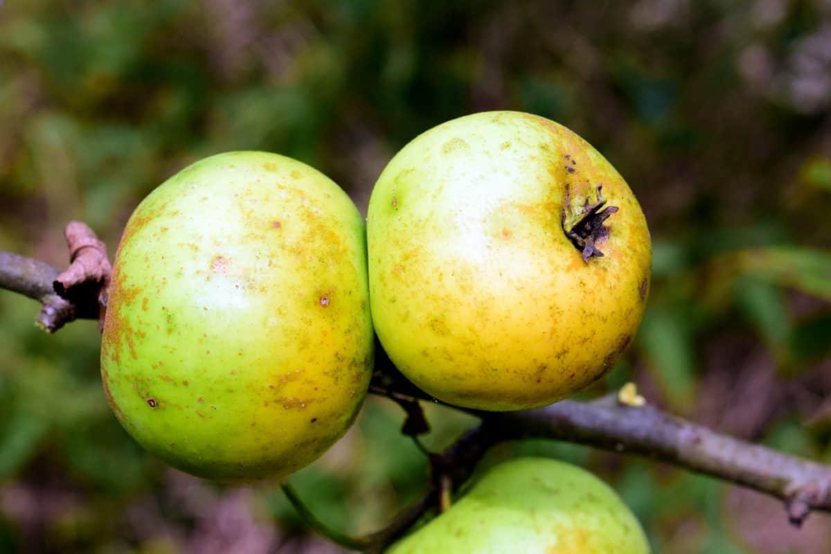 nature, fruit, apple, food, orchard, leaf, agriculture, sweet