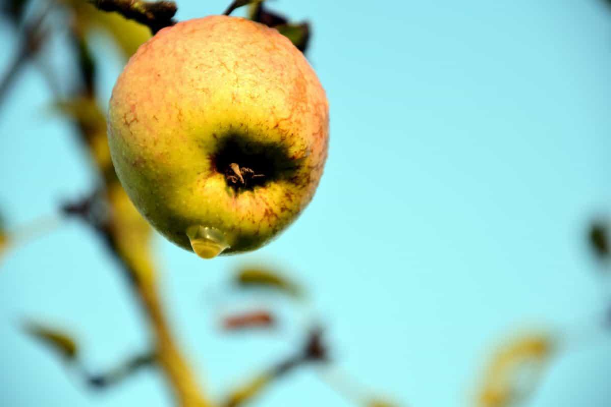 fruit, food, apple, leaf, nature, delicious