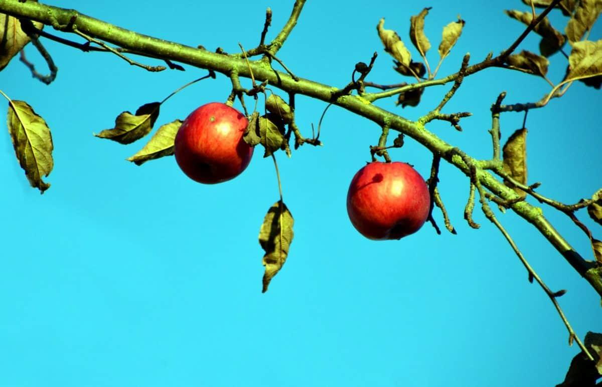 fruit, nature, branch, tree, leaf, food, apple