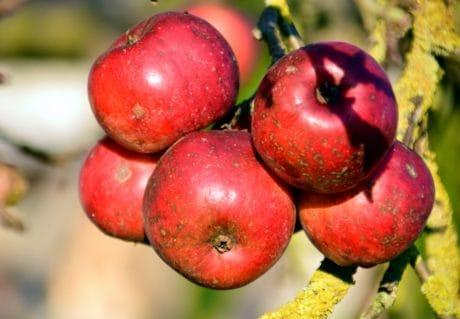 nourriture, pomme, fruits, nature, verger, rouge, nutrition, feuille, délicieux