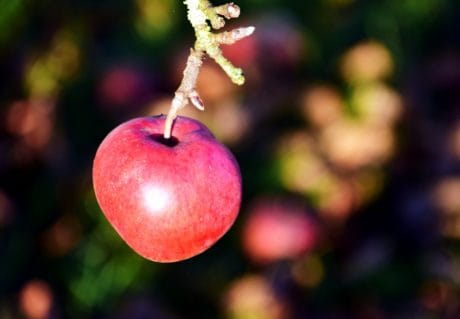 fruit, apple, food, nature, red, sweet, orchard, branch