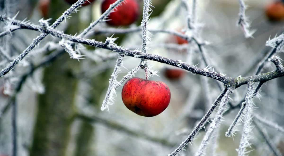 branch, winter, tree, nature, fruit, ice, cold, plant, outdoor