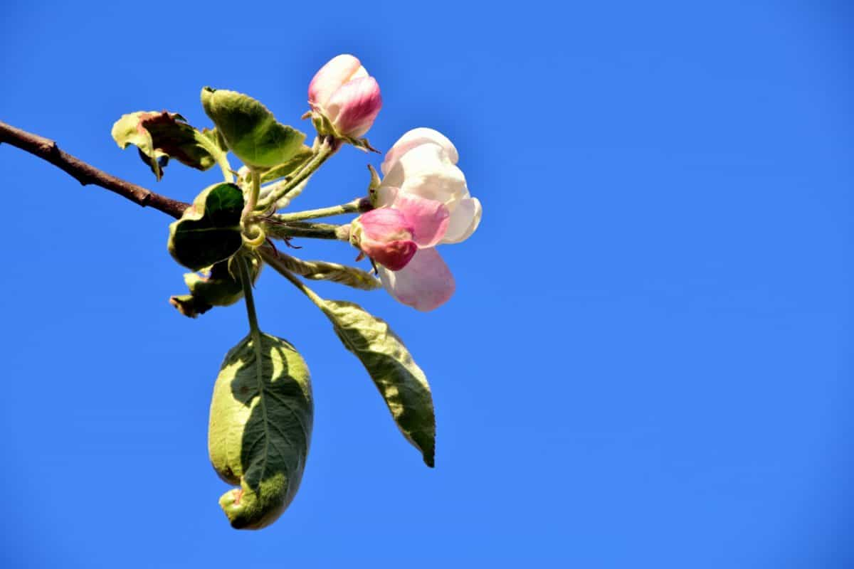 apple, branch, tree, leaf, flower, nature, blossom, blue sky