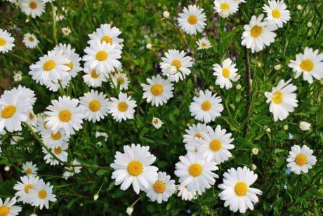 bidang daun, daisy, padang rumput, flora, alam, musim panas, Taman wildflower