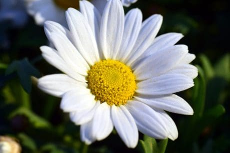 flower, garden, summer, nature, flora, leaf, daisy, plant