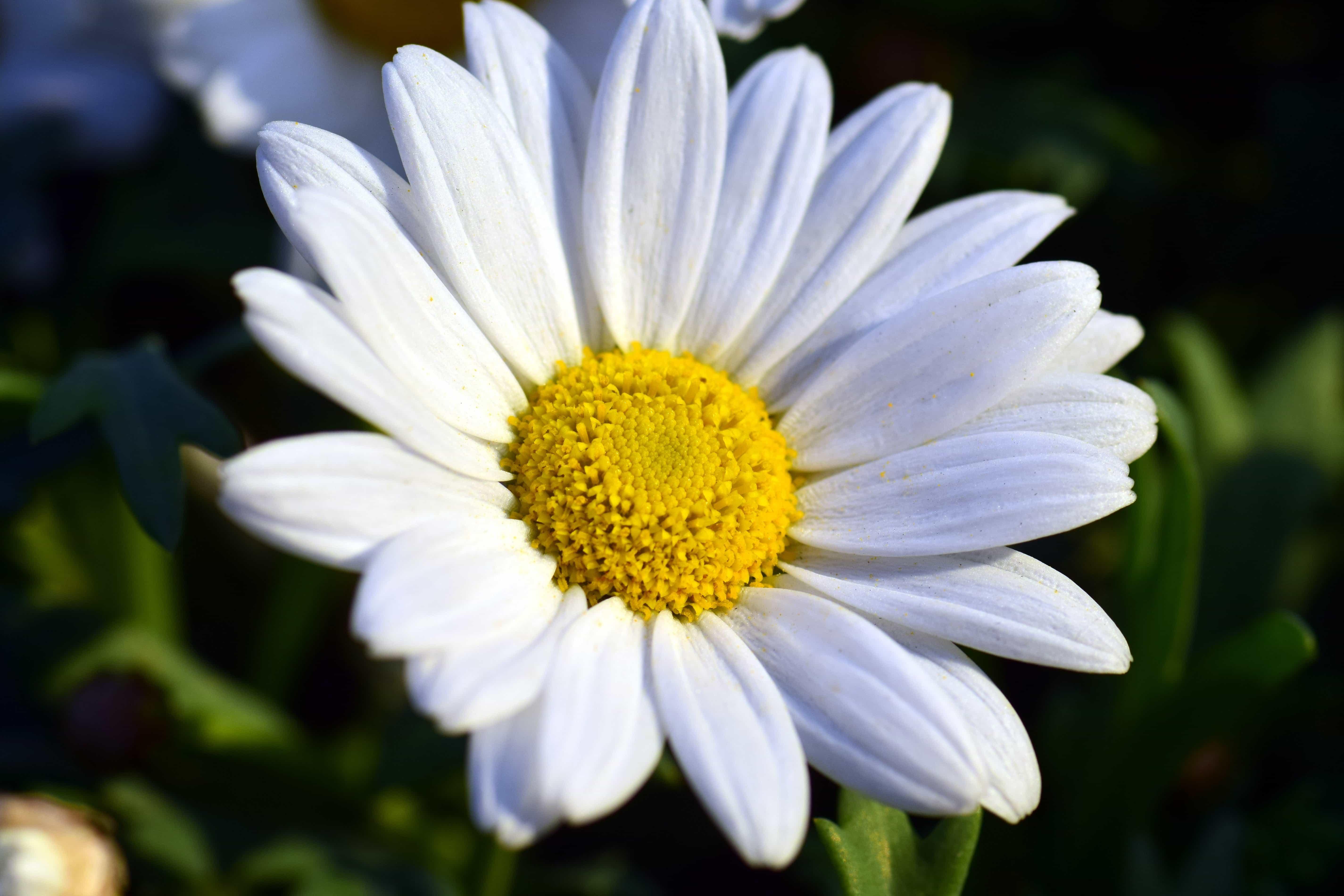 Foto gratis fiore giardino estate natura flora for Margherita pianta