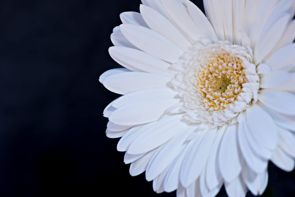 nature, flower, flora, daisy, petal, blossom, plant, garden