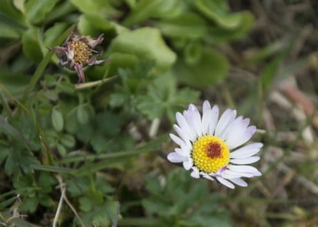 summer, flower, nature, flora, daisy, plant, herb, aster