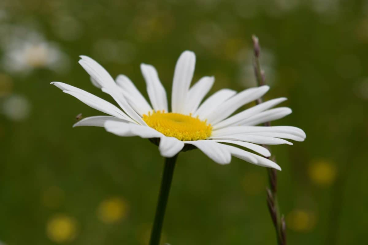 summer, flower, flora, nature, daisy, plant, blossom, herb, meadow