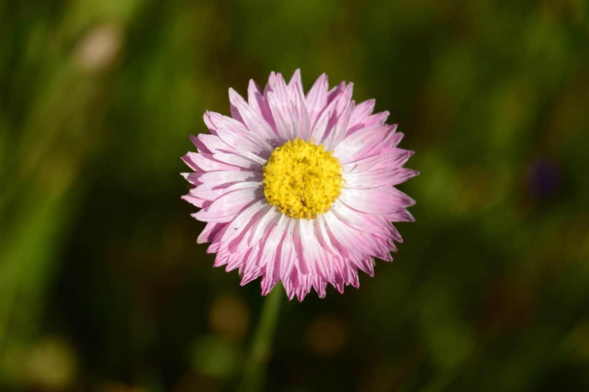 field, nature, flora, summer, flower, garden, aster, plant