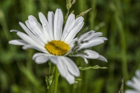 wildflower, leaf, summer, nature, flora, garden, daisy, plant